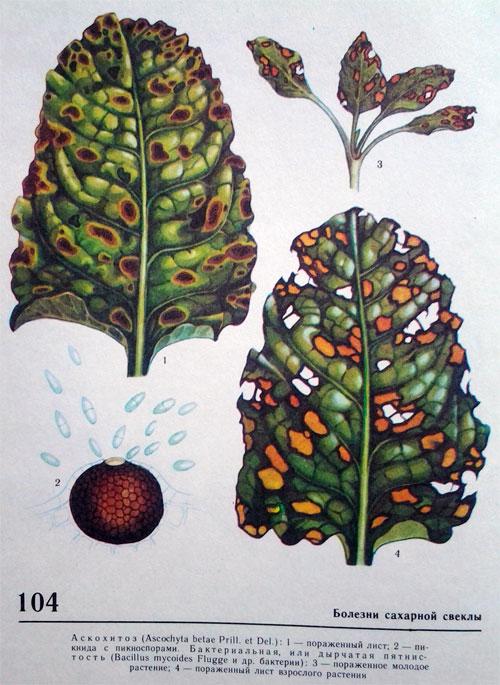 Бактериальная (дырчатая) пятнистость листьев сахарной свеклы