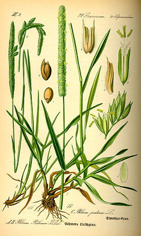 Выращивание тимофеевки луговой